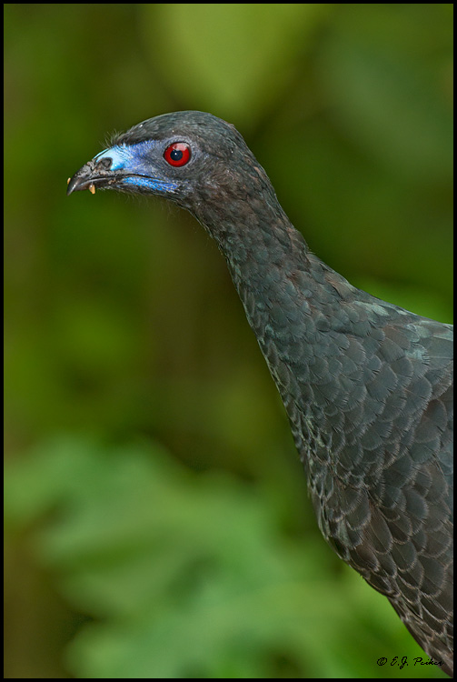 Black Guan, Costa Rica
