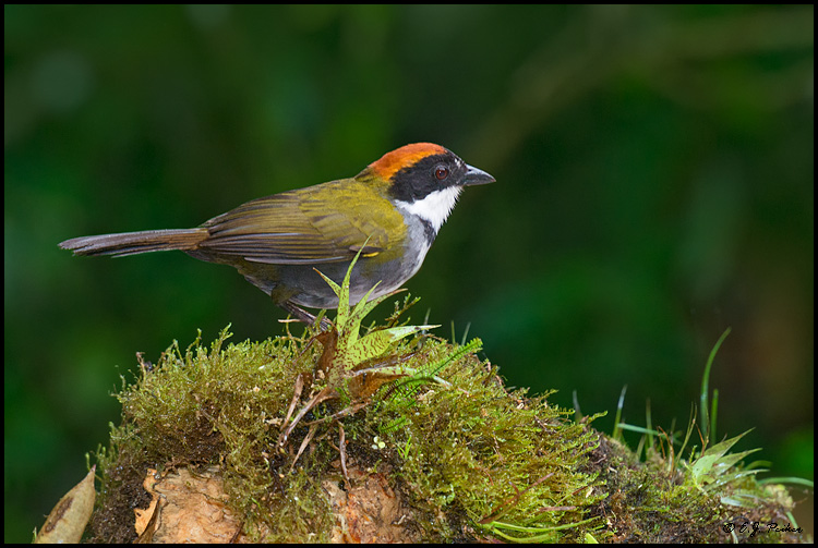 Chestnut-capped Brush-Finch, Costa Rica