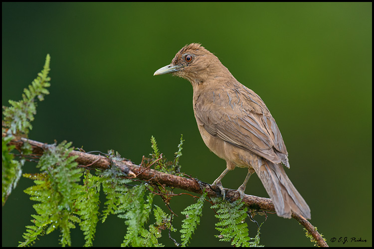 Clay-colored Thrush, Costa Rica
