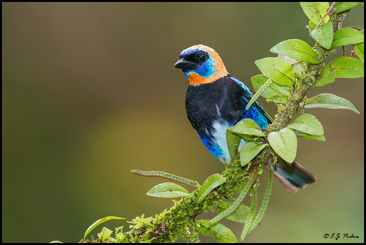 Golden-hooded Tanager, Costa Rica