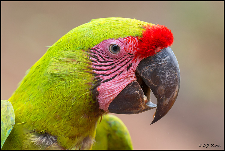 Great Green Macaw, Costa Rica