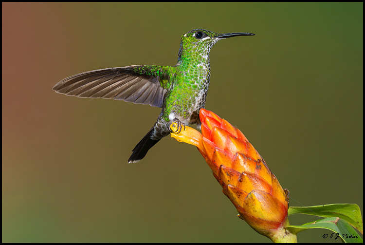 Green-crowned Brilliant, Costa Rica