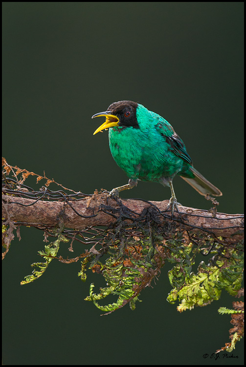 Green Honeycreeper, Costa Rica