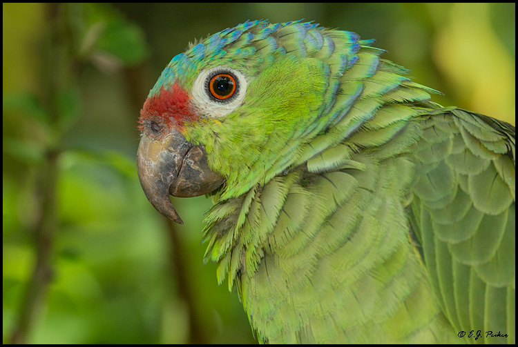 Red-lored Parrot, Costa Rica
