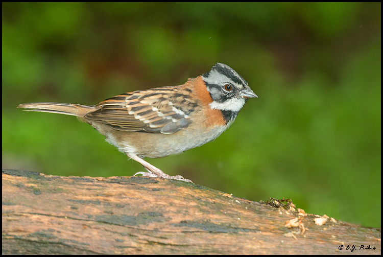 Rufous-collared Sparrow, Costa Rica
