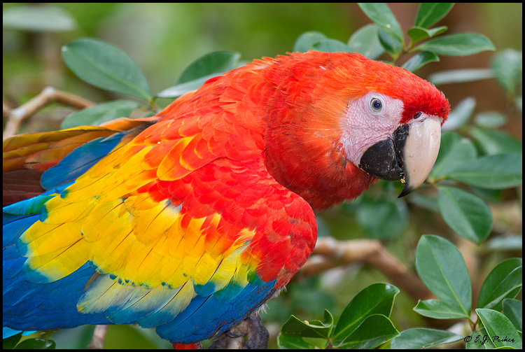 Scarlet Macaw, Costa Rica