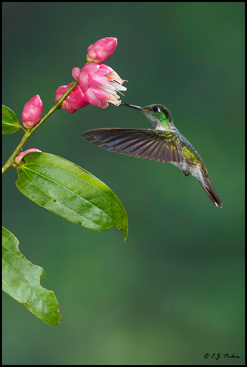 White-bellied Mountain-Gem, Costa Rica