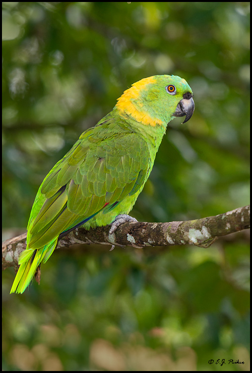 Yellow-naped Parrot, Costa Rica