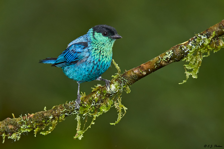 Black-capped Tanager, Ecuador