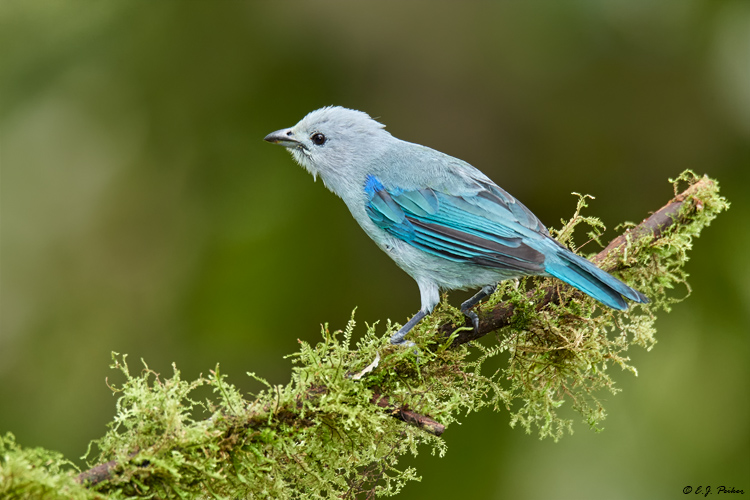 Blue-gray Tanager, Ecuador