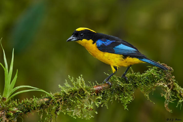 Black-winged Mountain-Tanager, Ecuador