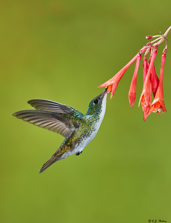 Booted Racket-tail, Ecuador