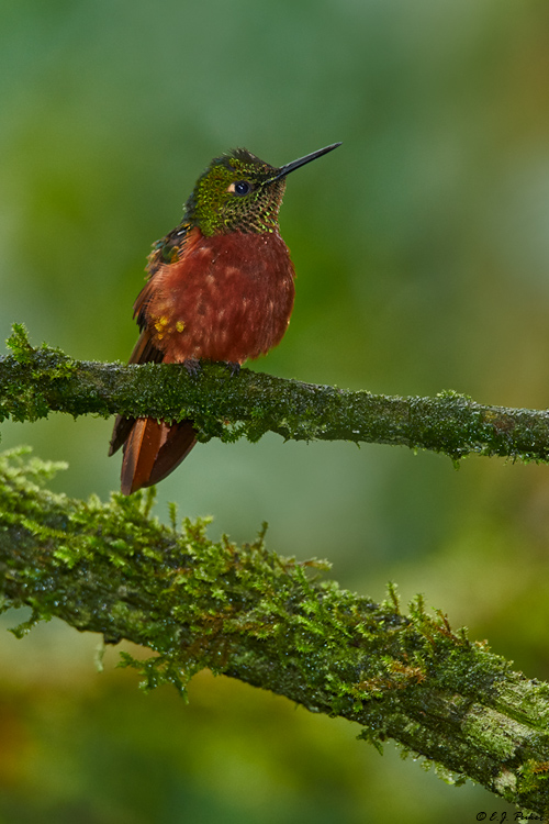 Chestnut-breasted Coronet, Ecuador