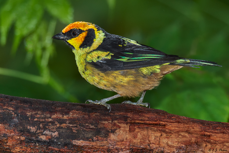 Flame-faced Tanager, Ecuador