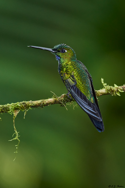 Green-crowned Brilliant, Ecuador