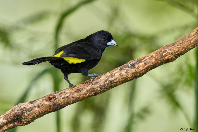 Lemon-rumped Tanager, Ecuador