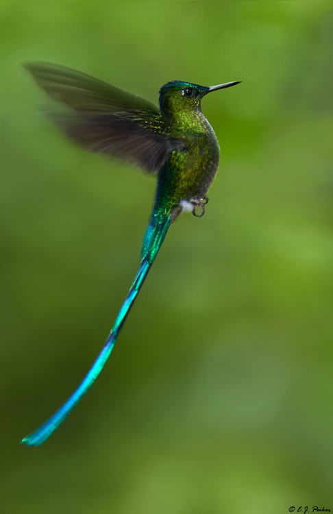 Long-tailed Sylph, Ecuador
