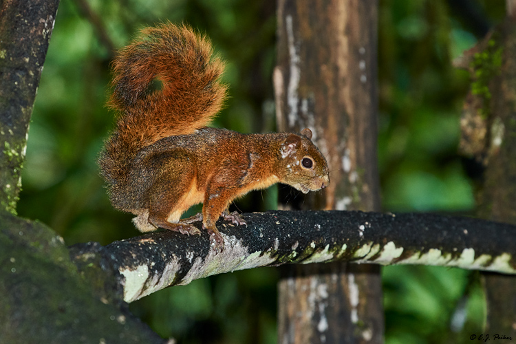 Red-tailed Squirrel, Ecuador