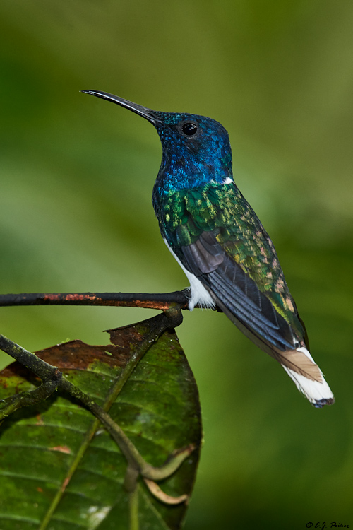 White-necked Jacobin, Ecuador