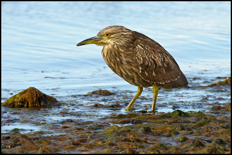 Black-crowned Night Heron, Stanley, Falkland Islands