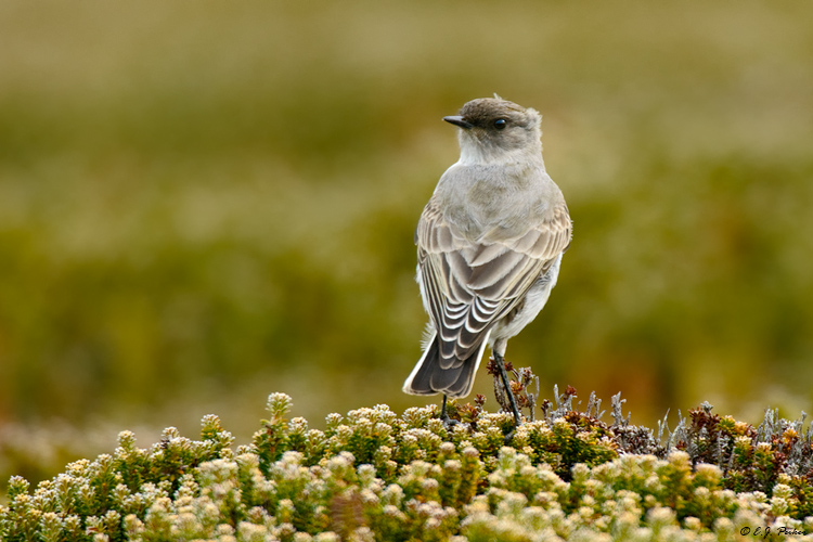 Dark-faced Ground Tyrant, Falkland Islands