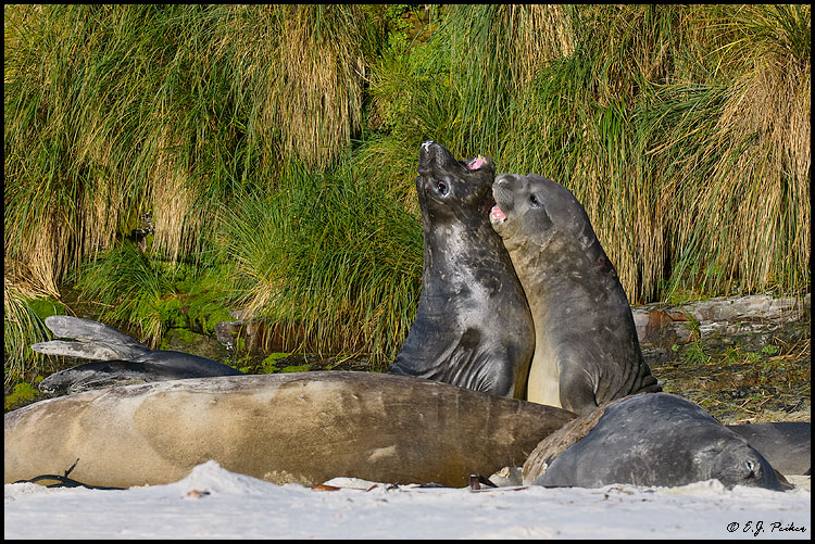 Elephant Seal, Falkland Islands