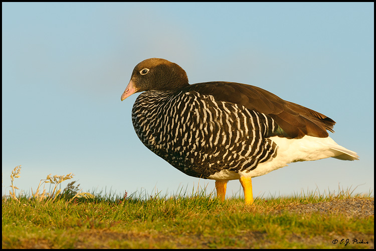 Kelp Goose, Falkland Islands