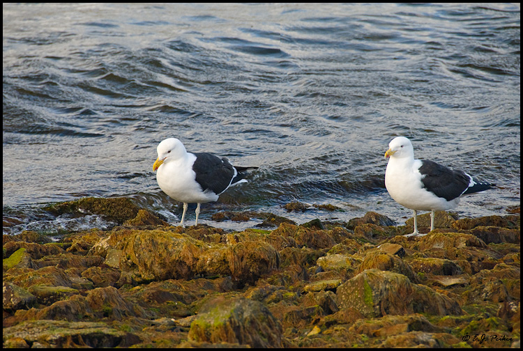 Kelp Gull, Falkland Islands