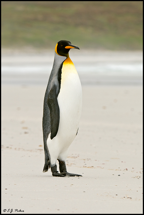 King Penguin, Falkland Islands