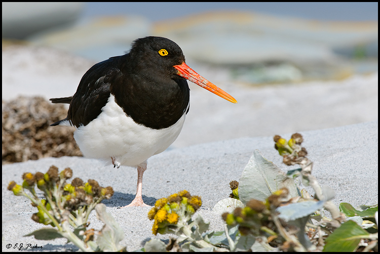Magellanic Oystercatcher, Falkland Islands