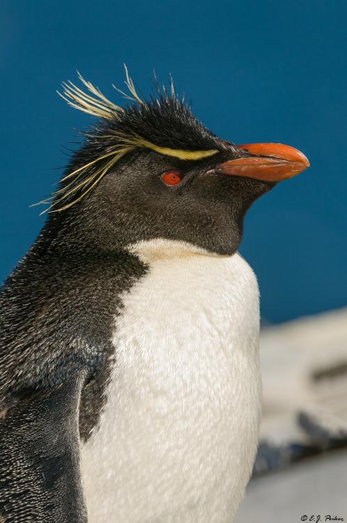 baby rockhopper penguin sounds - 498×750