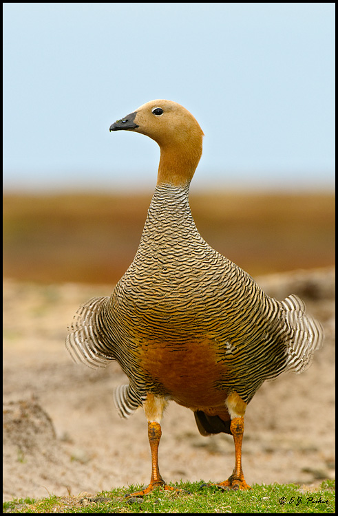 Ruddy-headed Goose, Falkland Islands