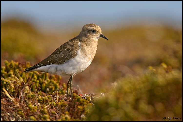 Rufous-chested Dotterel, Falkland Islands