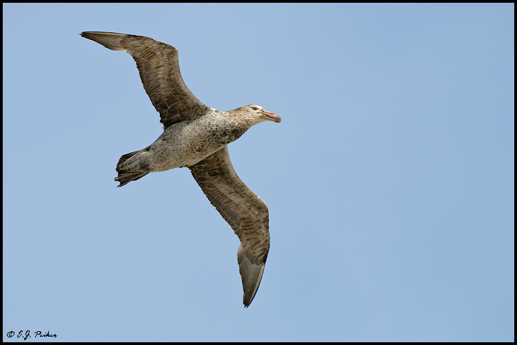 Southern Giant Petrel, Falkland Islands