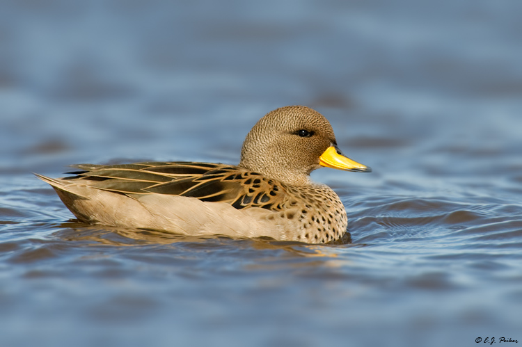 Speckled Teal, Falkland Islands
