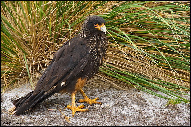 Striated Caracara, Falkland Islands