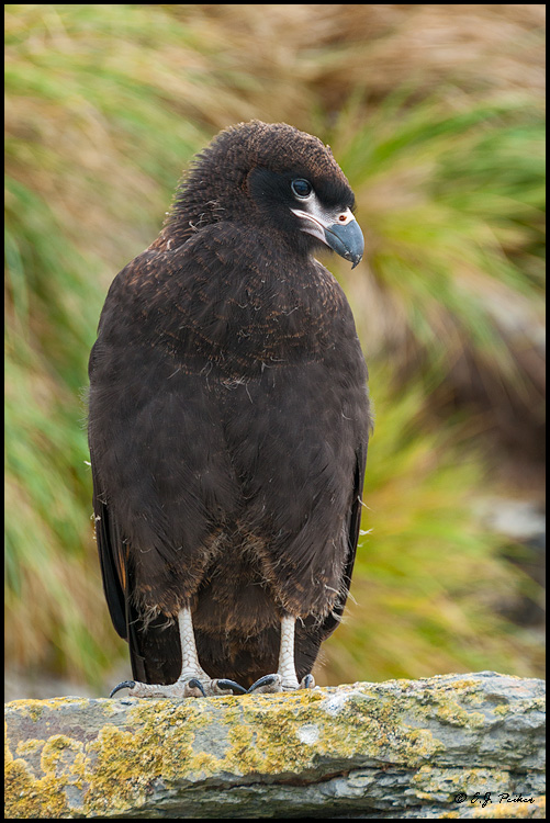 Striated Caracara Page