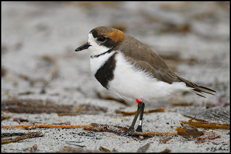 Two-banded Plover, Falkland Islands