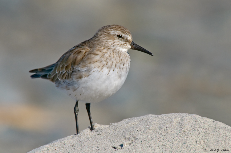 White-rumped Sandpiper, Falkland Islands