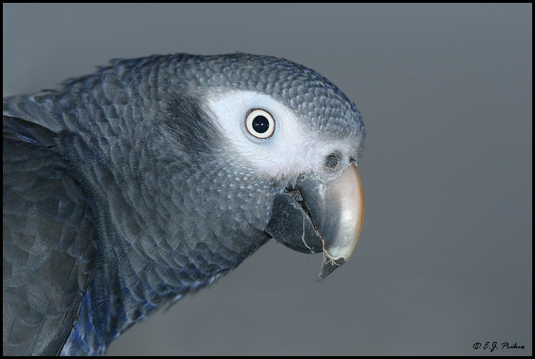 African Gray Parrots African Gray Parrot Captive