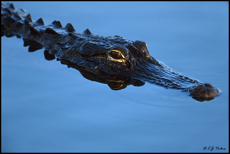 Alligator, Everglades, FL