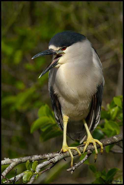 Black-crowned Night Heron, Shark Valley, FL