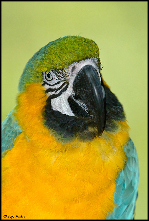 Blue-gold Macaw