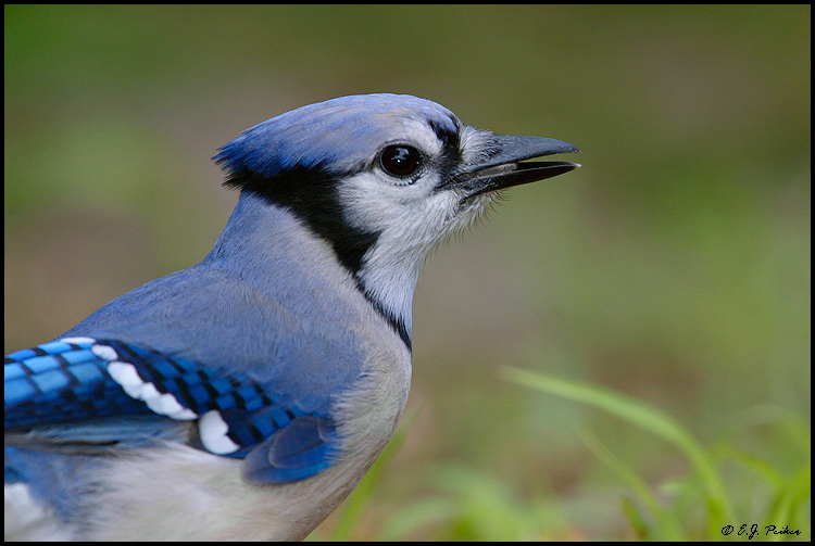 how to catch a blue jay