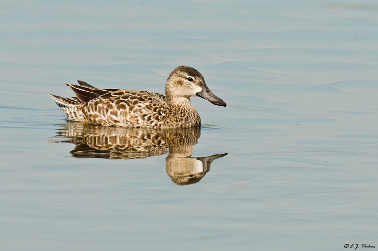 Blue-winged Teal, Melbourne, FL