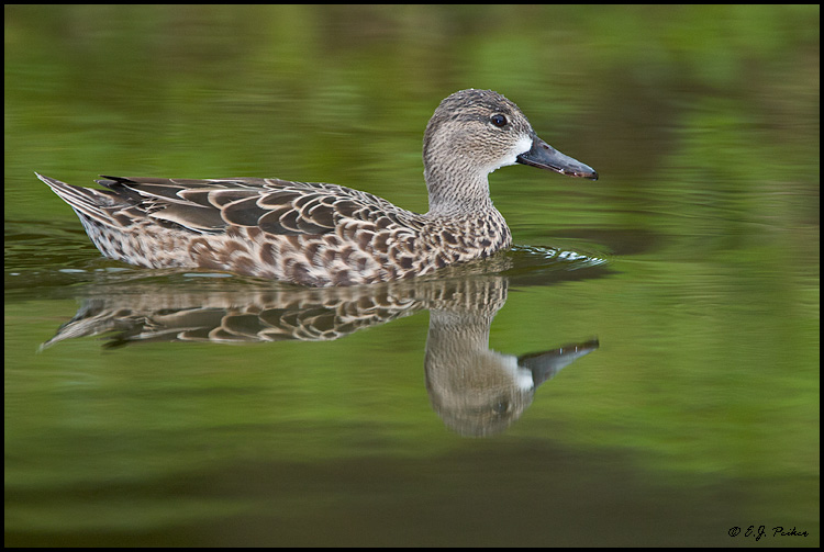 Blue-winged Teal, Miami, FL