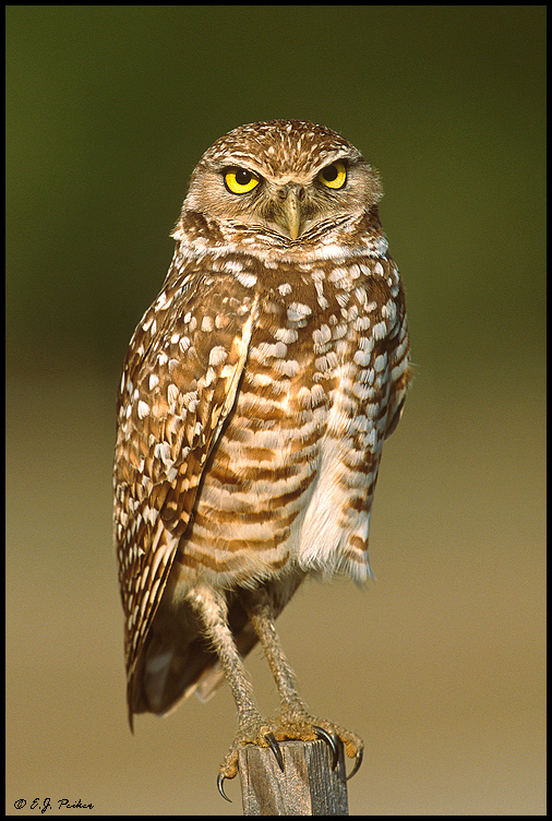 Burrowing Owl, Cape Coral, FL