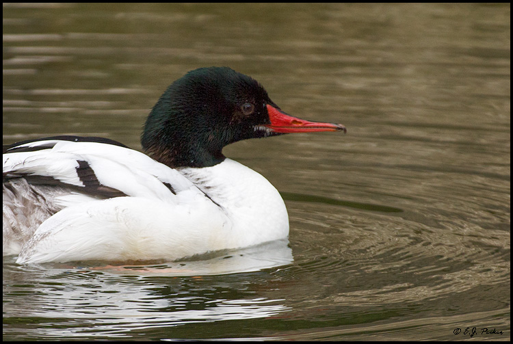 Common Merganser, Miami, FL