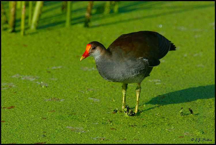 Common Gallinule, Phoenix, AZ