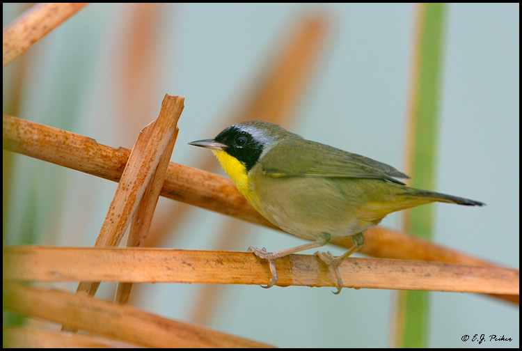 Common Yellowthroat, Irvine, CA